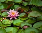 Lily Pads with Pink Flower Blossom on a Pond in Southwest Michigan No.204 A Fine Art Flower Nature Photograph