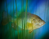 Black Crappie Pan Fish swimming among the reeds - A Nature Photographic Print