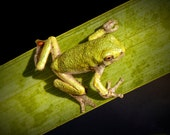 Tree Frog sitting on the Blade of a Green Leaf at a Pond in Michigan No.025 A Reptile Nature Photograph
