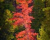 Autumn Scene of colorful red tree along the Little Manistee River in Michigan No. 0902 - A Fall Landscape Photograph
