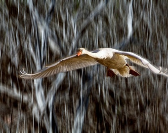 Mute Swan in Flight An Animal Bird Photograph