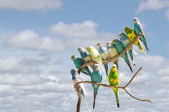 Parakeets perched on a limb against a Cloudy Blue Sky No.416 - A Fine Art Bird Nature Photograph