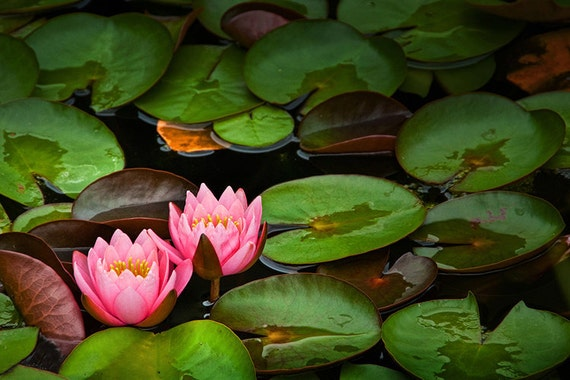 Green Lily Pads with Pink Blossoms on a Marsh Pond in Southwest Michigan No.0201 A Fine Art Nature Photograph