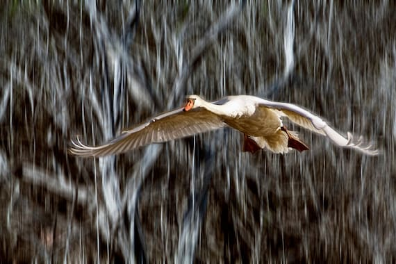 Mute Swan in Flight An Animal Bird Photograph