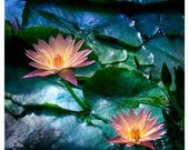 """Water Lily Glow - flower photography, wall decor, pink turquoise sapphire blue green - 8"""" x 8"""" and larger - Original Fine Art Photograph"""