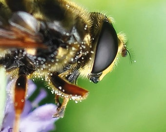 Hoverfly Fine Art Photography Download