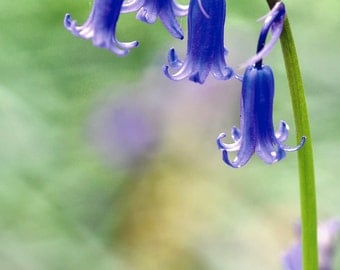 The Bluebell  Fine Art Photography Download