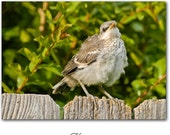 """Baby Mockingbird Photo Greeting Card & Sticker - Quote Poem inside - """"Hope is ..."""" - Emily Dickinson"""