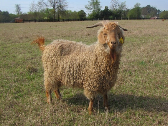 "Washed All Natural Organic Angora Goat Mohair Locks in ""Honey,"" blonde, cream"
