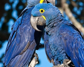 Set of quantity 5: Mates for Life - Hyacinth Macaw Pair Photo Card
