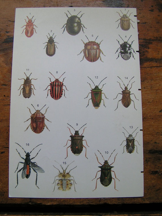 Vintage Double Sided Insect Botanical Print- Green Walking Stick and Beetles