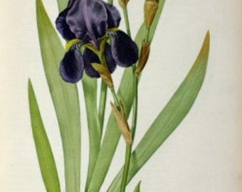 Iris Germanica - Cross stitch pattern pdf format