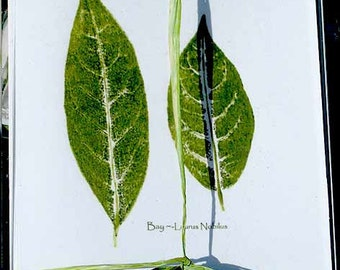 Botanical stationery, bay leaf note cards, w/pkg. of bay leaves, from relief print of bay leaves, great hostess gift, herb wedding favors