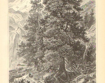 1893 Character Sketch of the Swiss Pine or Arolla Pine - Pinus cembra Original Antique Engraving