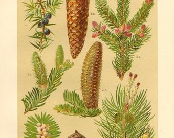 1911 Conifers, Common Juniper, Silver Fir , Norway Pine, Scots Pine Antique Chromolithograph to Frame