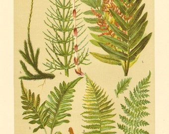 1911 Ferns, Old World Royal Fern, Common Polypody, Male Fern, Brittle Bladderfern, Wolf's-foot Clubmoss, Field Horsetail Antique Lithograph