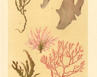 1911 Seaweeds, Brown Algae, Red Algae, Sargassum, Laver, Cockscomb Antique Chromolithograph to Frame