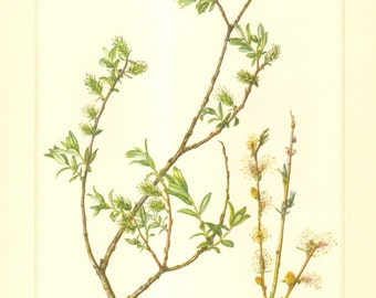 1960 Creeping Willow - Salix repens Vintage Offset Lithograph