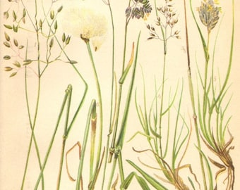 1905 Grasses, Wavy Hair-Grass, Alpine Oat Grass, Alpine Meadow-Grass, Alpine Bentgrass, Scheuchzer's Cottongrass Antique Chromolithograph