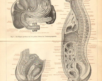 1894 Intestines, Bowels of the Human Body Original Antique Engraving
