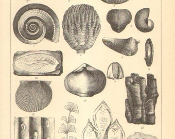 1896 Original Antique Engraving of Fossils from the Paleozoic Era, Carboniferous and Permian Period