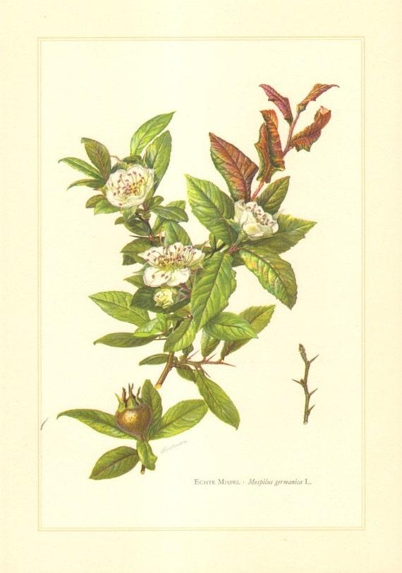 1958 Common Medlar - Mespilus germanica Vintage Offset Lithograph