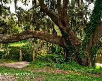 Plantation Lowcountry Charleston Live Oak Fine Art Print
