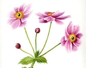 A Swaying Stem of Pink Japanese Anemones, watercolor painting