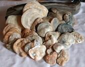 Scottish Seashells, North Sea, Marine Oyster, Shells, Mother of Pearl, Set of 27, Supplies, Ocean Treasures by SarahSeaGlass