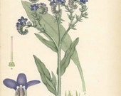 ANTIQUE 1905 BOTANICAL Book Plate 83 Anchusa Officinalis (Common Bugloss)