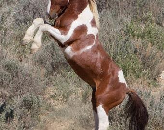 Apache Rears - Fine Art Wild Horse Photograph - Wild Horse - Apache