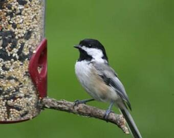 "SALE! Maine birding - Chickadee at feeder -  5 x 7"" color print"