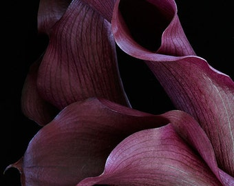 Purple Calla Lilies still life flower macro abstract fine art photography