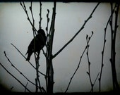 Black and White Black Bird Silhouette Amongst the Budding Branches 5 x 7 Photography Print