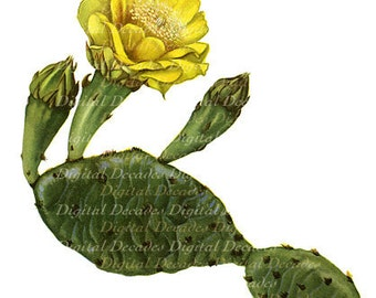 Prickly Pear Cactus Yellow Wild Flower Vintage Art Illustration - Digital Image