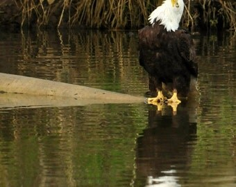 Photo of a Bald Eagle looking up as he watches Herons flying overhead home decor, wall decor
