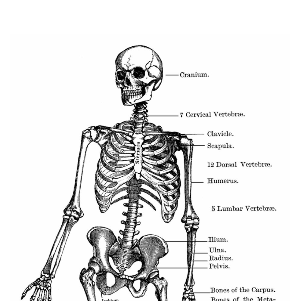 Skeleton Anatomy Diagram Vintage Style Art Print Black And