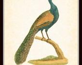 Antique Peacock Illustration 1845 Natural History Art Print  8 x 10 Art Nouveau