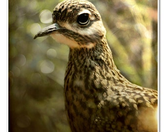 Close up Photo of stone curlew Spotted Dikkop Kiwi bird Portrait - 8x10