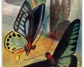 1953  Borneo Butterfly Vintage Print, Entomology
