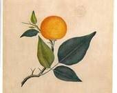 Botanical Illustration Aegle marmelos  Bael Plants Timor   to Frame