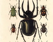 1910 Antique Insects Print Color Lithograph Scarabs Beetle Coleoptera Lamellicornia