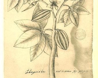 Vintage Botanical  Print Plants Maranhao Brazil Pachira aquatica Art Illustration Ink