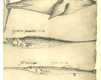 Vintage Print Fishes and Dolphin, Fauna of  Maranhao Brazil,  Natural History Art