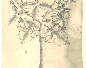 Botanical  Print Aracainha  Maranhao Brazil