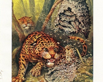 Jaguar Attacking a Wasp Nest Vintage Print 1950s Theo Carreras Natural History Art