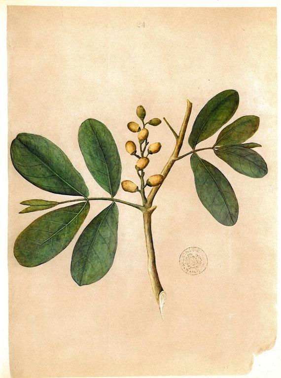 Botanical Illustration Tropical  Shrub Tree Fruits Timor