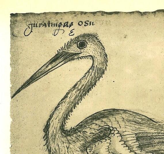 Birds  Maranhao Natural History Art Print  Egret Ardea alba Brazil Vintage Ornithology