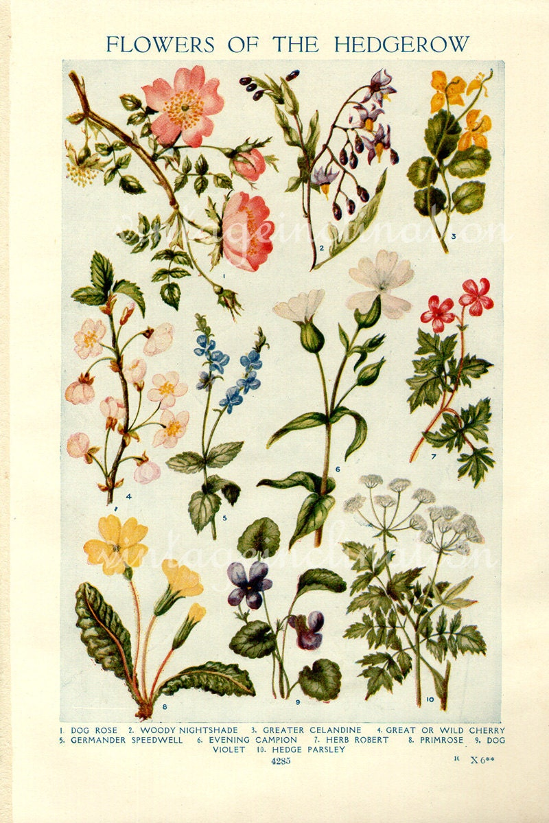 Vintage Botanical Prints Flowers of the Hedgerows 1933
