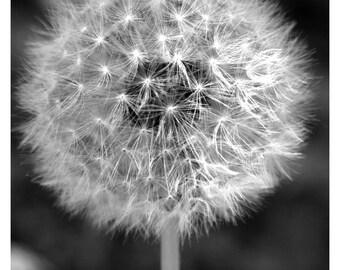 dandelion wall art, dandelion photograph, dandelion print, black and white dandelion, dandelion, art print, wall art, wall decor, print